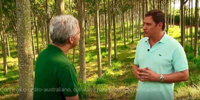 Globo Rural Conheca O Cedro Australiano Cultivado Para Producao De Madeira