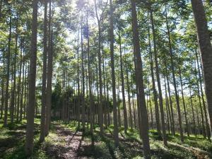 Floresta de cedro australiano com 4 anos de idade