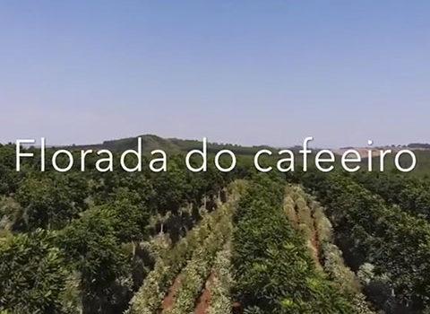 FLORADA DO CAFEEIRO COM CEDRO AUSTRALIANO